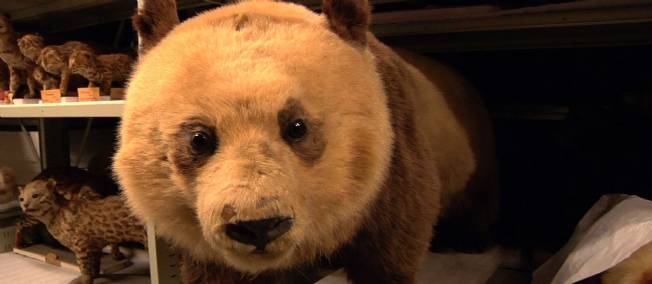 Le premier panda vu en Europe, conservé au Musée d'Histoire Naturelle à Paris