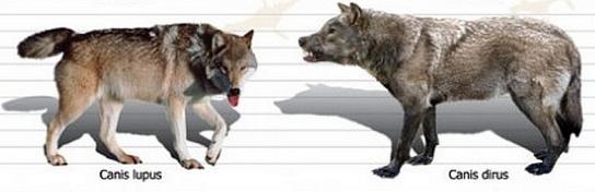 Comparaison entre un loup normal et un loup sinistre