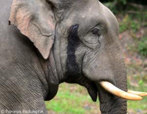 elephant musth